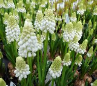wittebloemen